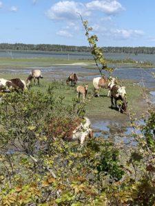 Chincoteague Islands Wild Ponies
