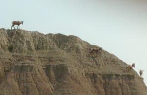 Big Horn Sheep on Rocks in Badlands National Park