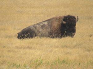 Bison at Badlands National Park