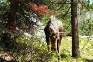 Moose in White Mountains New Hampshire