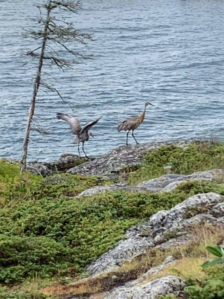 Sand Cranes on Royal Island National Park