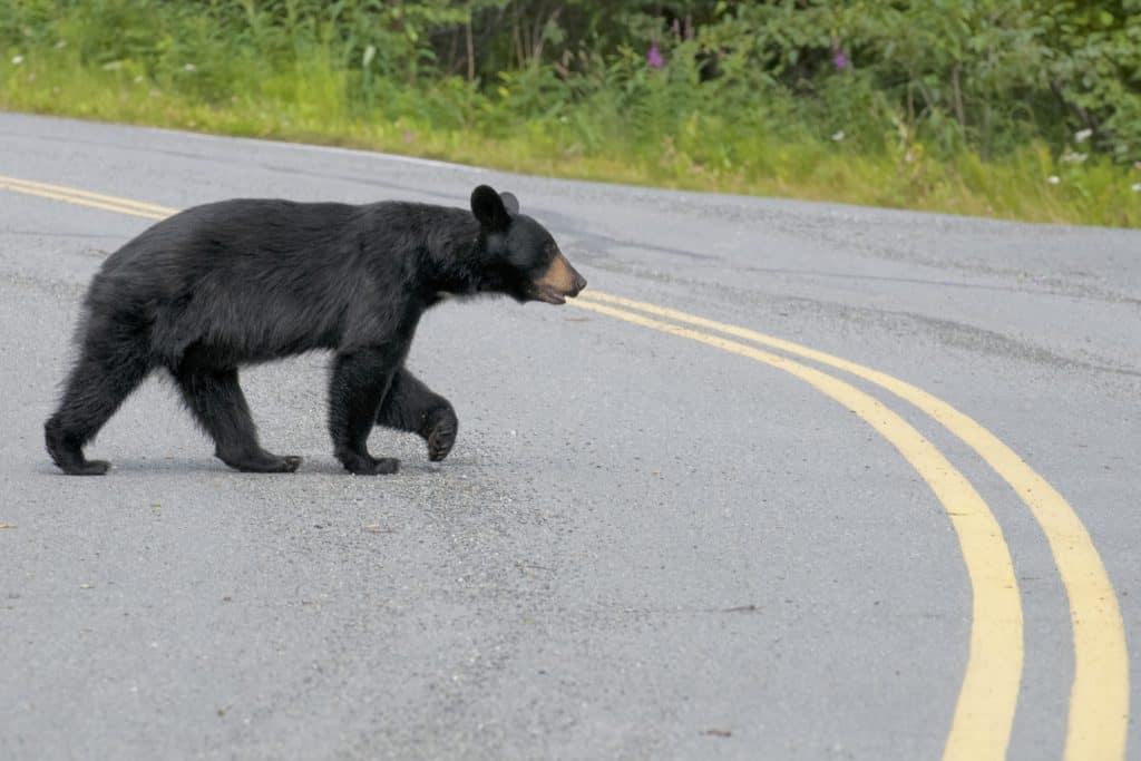 Black Bear on road in Shenandoah National Park