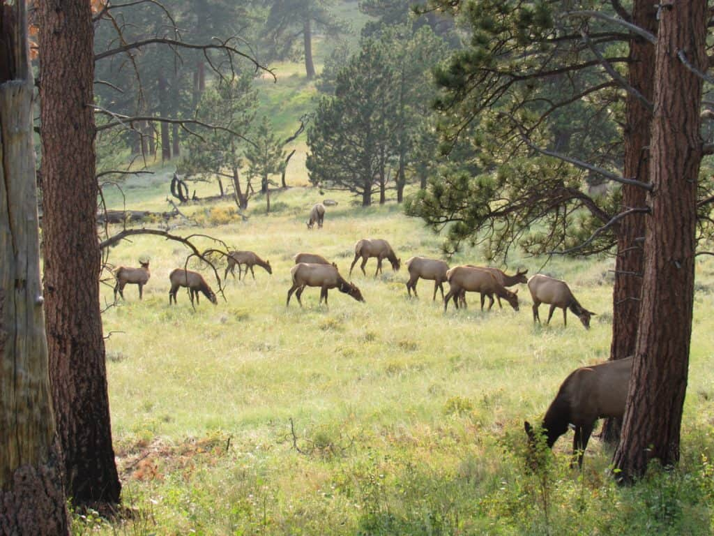 Elk grazing in the field