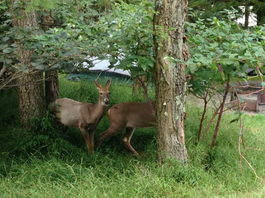 Deer in Big Meadow Campground