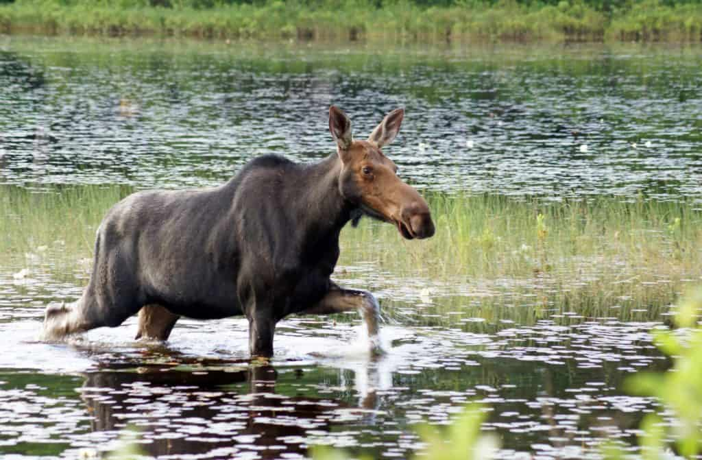 moose cow in pond