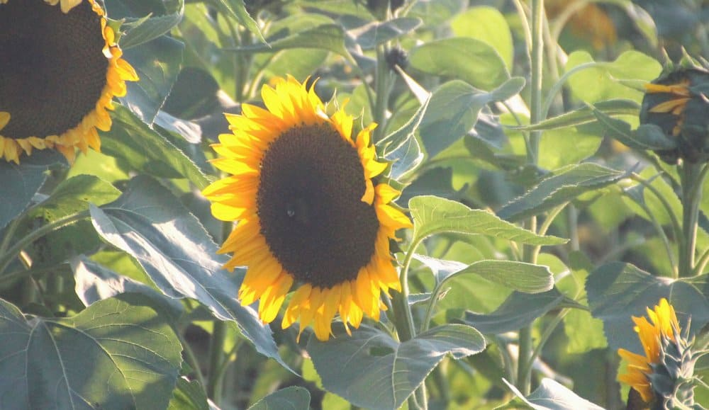 Field of sunflowers at Sunflower Farm on Long Island North Fork
